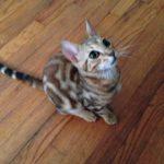 Twix, Bengal Cat and Pirate